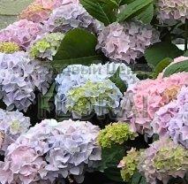 Гортензия крупнолистная/макрофилла Bouquet Rose С3