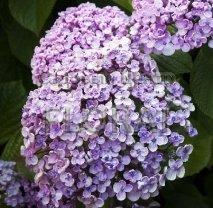Гортензия крупнолистная (macrophylla) Ayesha С3