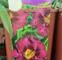 Лилейник Purplelicious С3