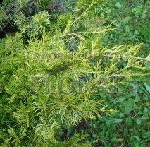 Можжевельник чешуйчатый Pygmaea С2