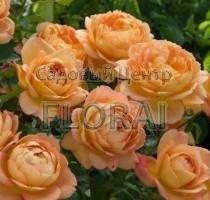 Роза кустовая  английская Lady of Shalott