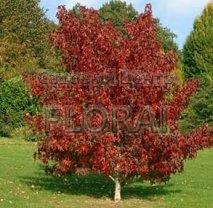 Ликвидамбар смолоносный (Амбровое дерево). Высота 400-450 См. С90