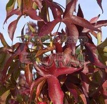 Ликвидамбар смолоносный (Амбровое дерево). Высота 200/250 см