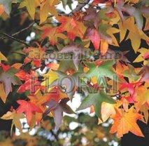 Ликвидамбар смолоносный (Амбровое дерево). Обхват ствола 20/25 Cм