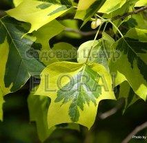 Лириодендрон (Тюльпановое Дерево)  Aurea Marginatа. Высота 100 см