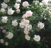 Роза плетистая M-me Alfred Carriere. Высота 200-225 см
