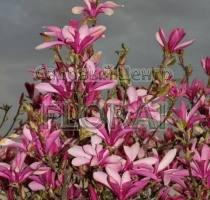 Магнолия obovata Purpurea 125-150 см