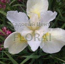 Ирис sibirica Not Quite White