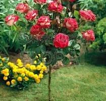 Роза Nostalgie на среднем штамбе  (1/2St)