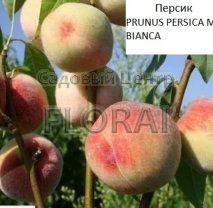 Персик MARIA BIANCA (крупномер  под заказ из Италии)