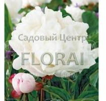 Пион Gardenia, корневище 2-3 почки (36267)