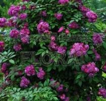 Роза плетистая Perennial Blue. Высота 200-225 см