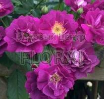 Роза Perennial Blue на высоком штамбе 3/4St