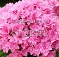 Ремонтантная гортензия macrophylla You & Me Perfection C2-3