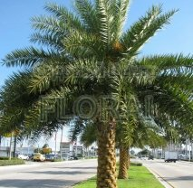 Пальма Phoenix Robusta C30