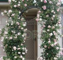 Роза плетистая Pierre de Ronsard 180/200 см