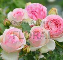 Роза Pierre de Ronsard на высоком штамбе (3/4 St) C25