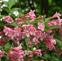 Вейгела цветущая (florida) Pink Princess