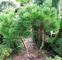Сосна чёрная Jeddeloh. Высота 60/80 см