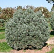 Сосна обыкновенная Watereri. Высота 40-50 см. С 15-18