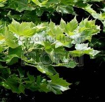 Платан Acaerifolia. обхват 18-20 см