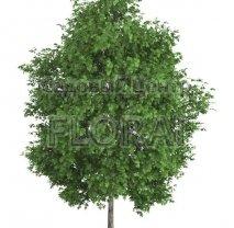 Платан кленолистный (Acaerifolia). Высота 2,50 м. C15