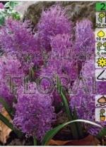 Мускари Plumosum (10 шт в пакете) 12393. Распродажа -50%
