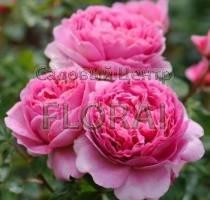 Роза кустовая  английская Princess Alexandra of Kent
