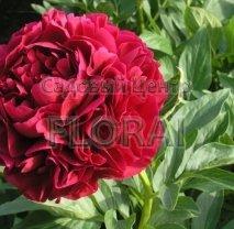 Пион Red Supreme