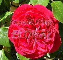 Роза кустовая  английская Red Leonardo da Vinci
