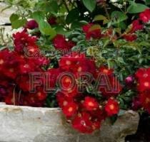 Роза почвопокровная Red Velvet