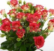 Роза спрей Rubyella