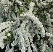 Спирея (Таволга) nipponica Snowmound. С2