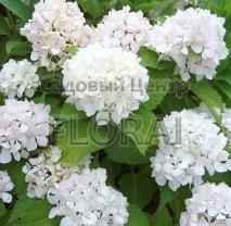 Гортензия macrophylla белая Soeur Therese C3