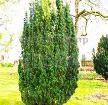 Тис ягодный (baccata). высота 80/100 см