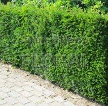 Тис средний Hilli Куб 80х80х130 живая изгородь