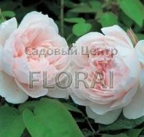 Роза плетистая The Generous Gardener. Высота 2 м