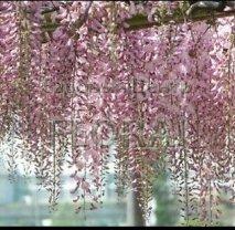 Глициния обильноцветущая (floribunda) Pink Ice. Высота 150-175 см