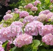 Ремонтантная гортензия macrophylla You & Me Love C5