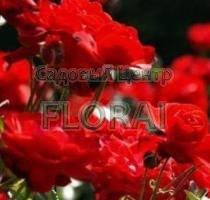 Роза флорибунда Festival