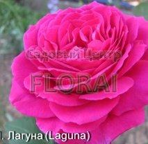 Роза плетистая английская Laguna