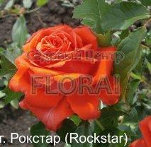 Роза кустовая  Rockstar в контейнере с ЗКС