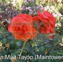 Роза плетистая бокаловидная Maintower