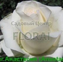 Роза чайно-гибридная Anastasia в контейнере с ЗКС