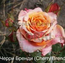 Роза кустовая  Cherry Brandy в контейнере с ЗКС