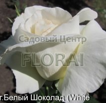 Роза кустовая  White Chocolate в контейнере с ЗКС