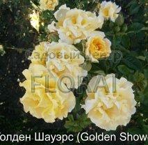 Роза плетистая бокаловидная Golden Showers в контейнере с ЗКС