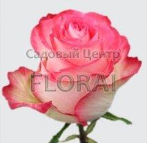 Роза кустовая  High and Candy в контейнере с ЗКС