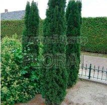 Тис ягодный Фастигиата (Fastigiata Robusta) 120/140 см