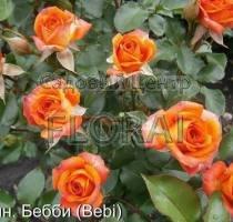 Роза спрей Orange Baby
